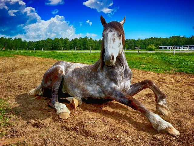 ležící kůň