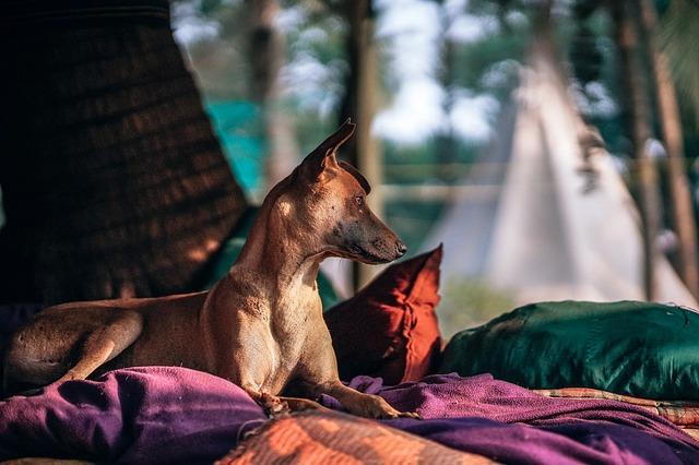 Hnedý pes na posteli s farebnými plachtami a vankúšmi.jpg